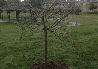 Morris Memorial Tree - Kollar
