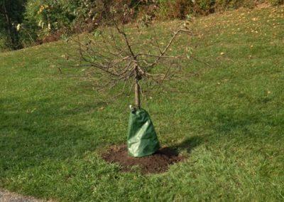 Morris Memorial Tree - Shady Oaks